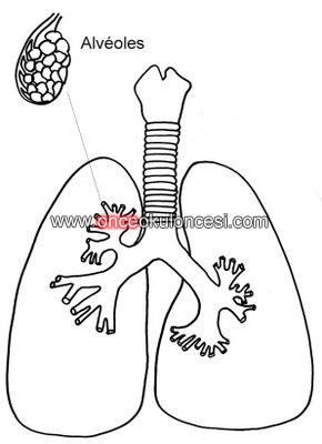 Ic Organlarimiz Kalp Mide Akciger Vs