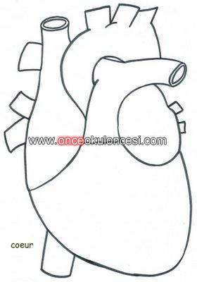 Iç Organlarımızkalpmideakciğer Vs