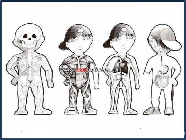 Iç Organlar Ve Sistemlerimizrenkli Ve Boyama